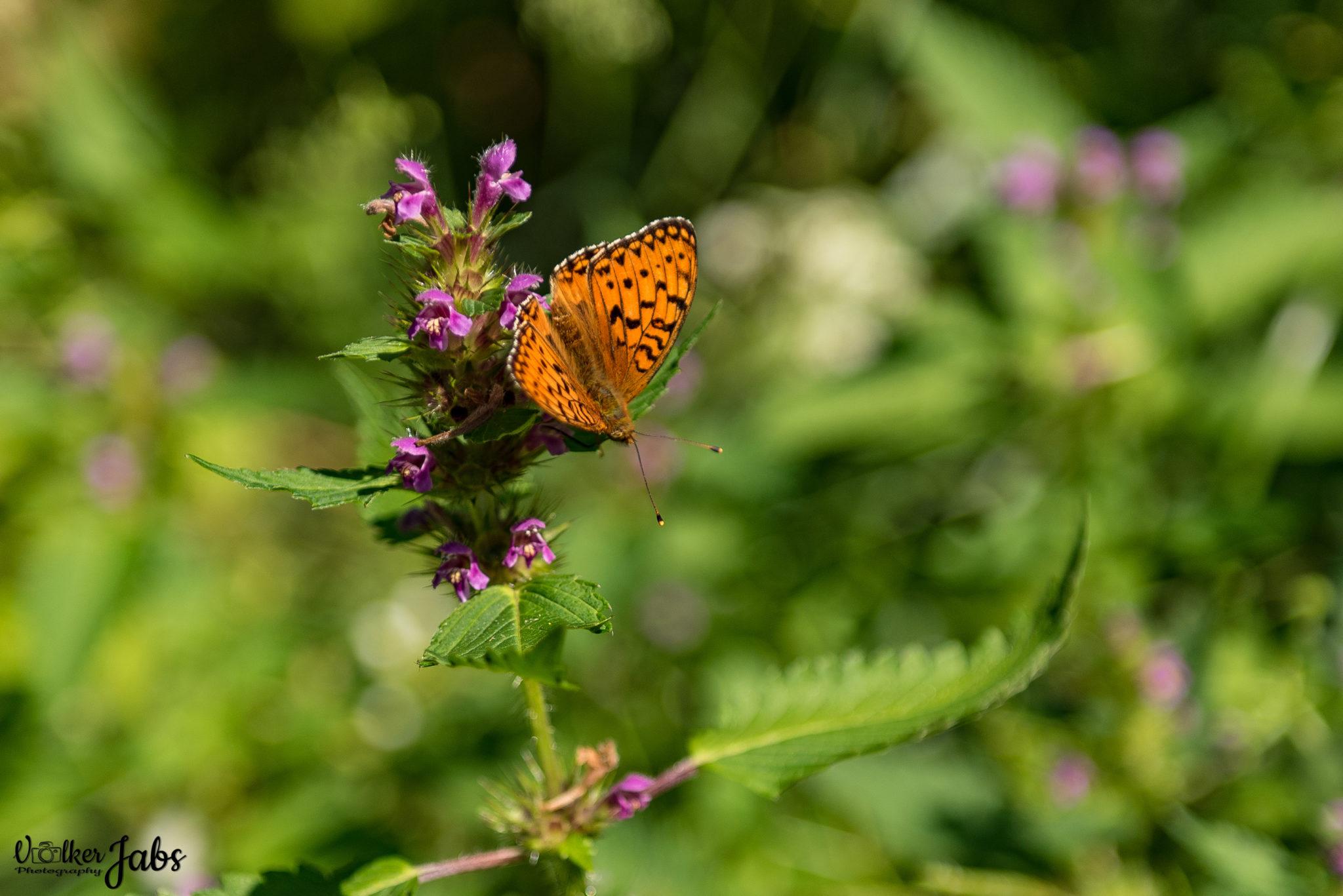 Schmetterling in der Mittagssonne im Valle Maira