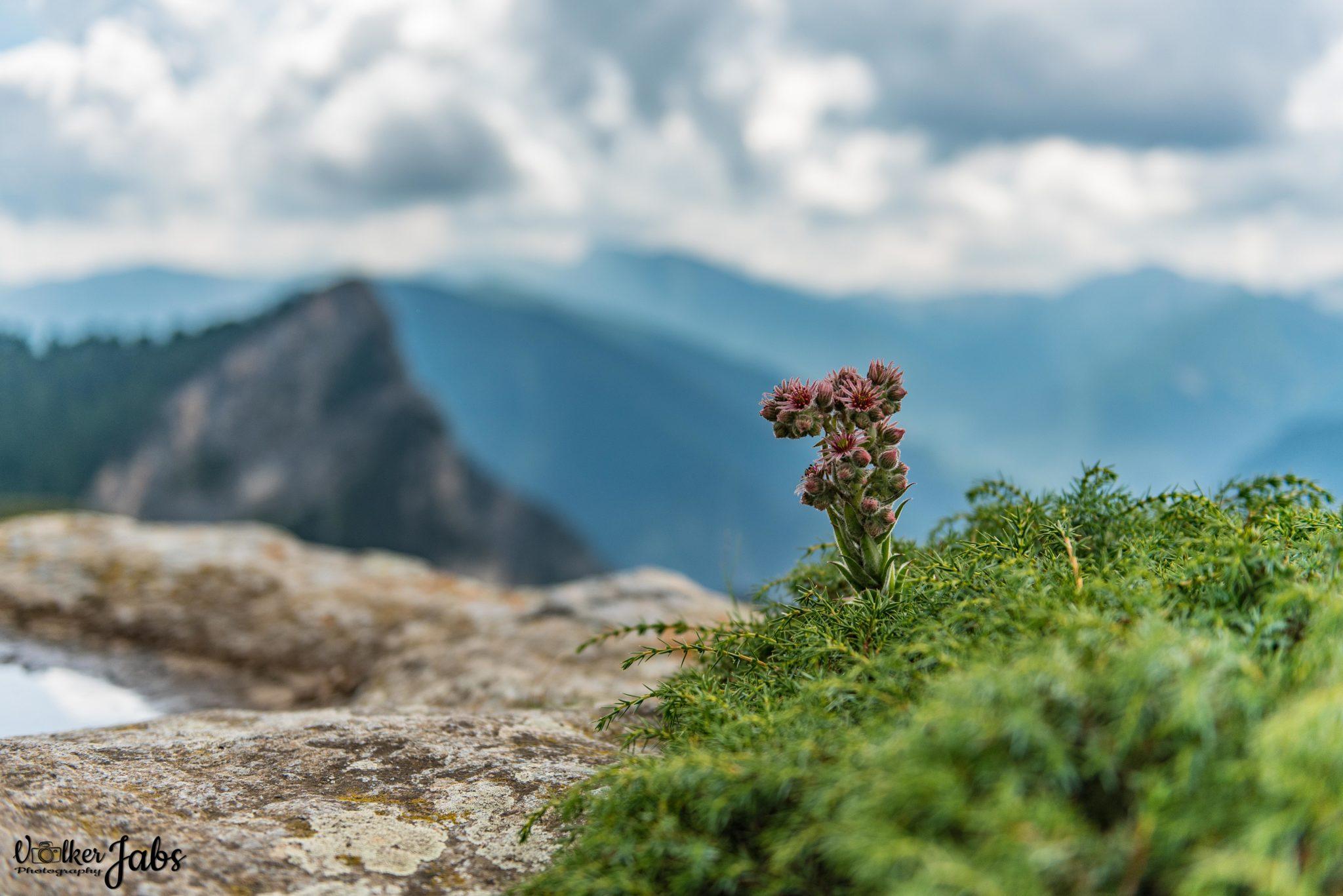 Flora im Valle Maira