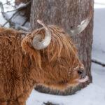 Wildlife im Winter im Pitztal